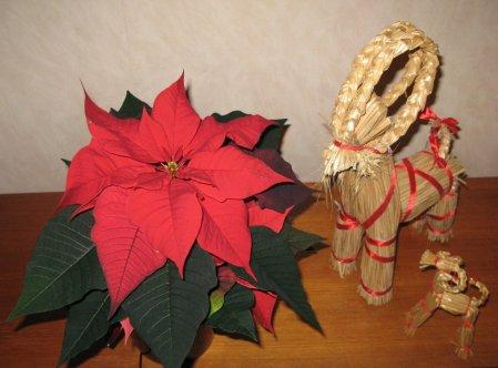 joulutähti, Euphorbia pulcherrima