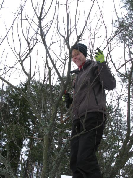 omenapuun leikkaminen Entti3