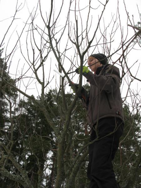 omenapuun leikkaaminen Entti2