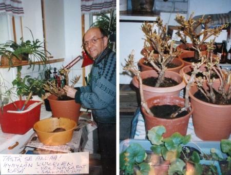 Vuonna 1999 Markku kykeni vielä hoitoleikkaamaan silloin hieman yli kymmenvuotiaat kasviyksilöt. Oikeanpuoleisessa kuvassa näkyykin jo useampi kasviyksilö.