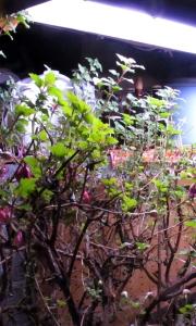 Maaliskuun puolivälissä olivat verenpisarat kellarissa jo aivan valmiita kevääseen! Upeaa!