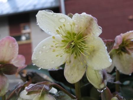 helleborus niger, jouluruusu