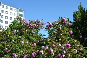 Ihmisen tekemä seinä vai ruususeinämä?