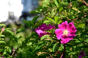 Yksinkertainen, mutta kaunis ruusunkukka!
