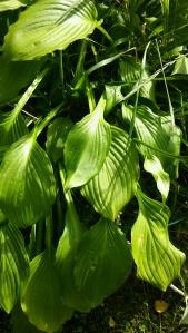 Kuunlilja ei suikerra eikä rönsyä, mutta peittää suurilla lehdilllään maan tehokkaasti