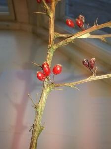 Japaninhappomarjan marjat säilyvät oksissa pitkään lehtien jälkeen.