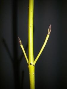 Keltaoksakanukka on vaaleanvihreä tai haalean keltainen